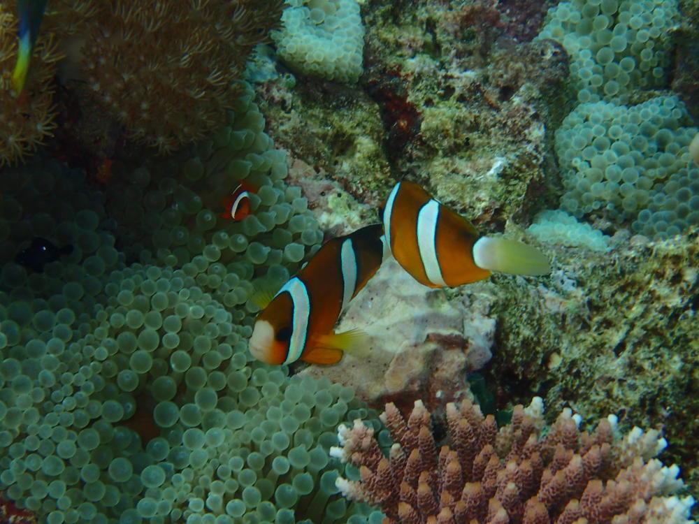 Clawn Fish